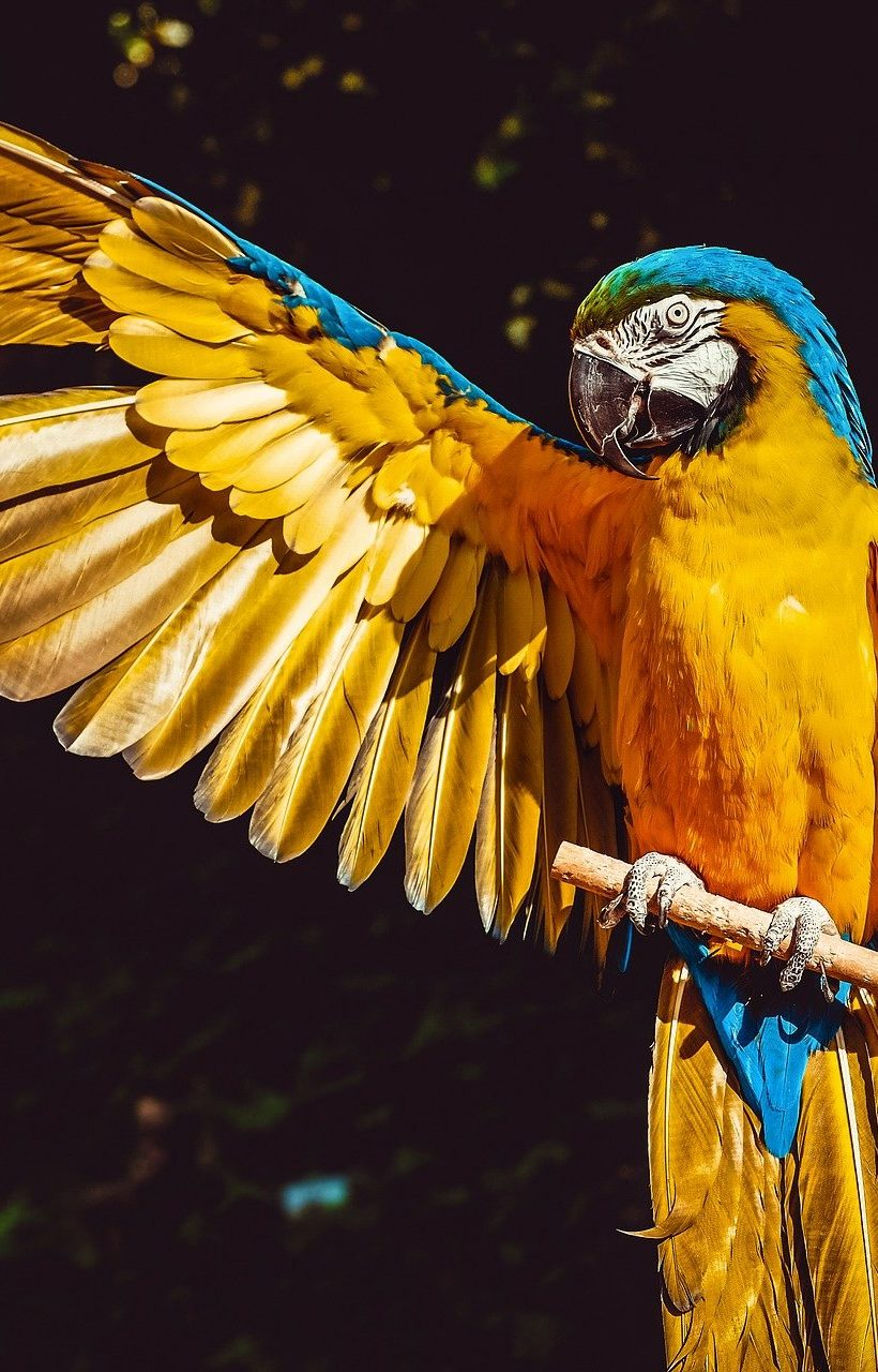 Parrot with wing extended